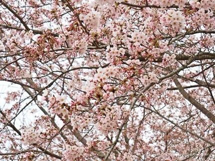 三崎公園のソメイヨシノ [平成29年4月12日(水)更新]2