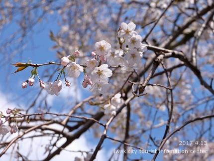 《いわき市桜開花情報》大運寺のシダレザクラ[平成29年4月13日(木)更新]tags[福島県]