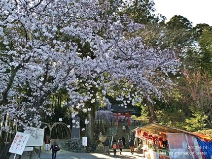 小川諏訪神社のシダレザクラ ライトアップ![平成29年4月14日(金)更新]2