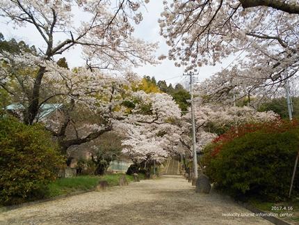 《桜開花状況》四倉地区の桜 [平成29年4月16日(日)更新]9