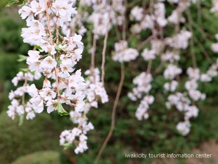 《桜開花状況》久之浜地区の桜 [平成29年4月18日(火)更新]13