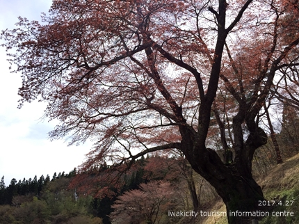 新田の大山桜 [平成29年4月27日(木)更新]1