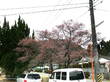 国宝白水阿弥陀堂のヒガンザクラ [平成29年3月6日(月)更新]2