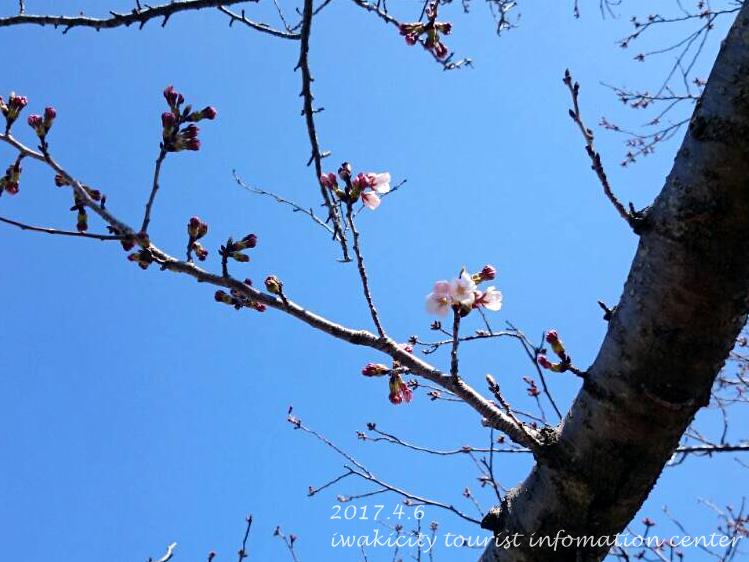 開花宣言[平成29年4月6日(木)更新]2