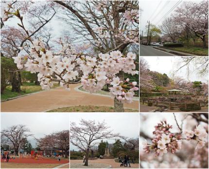 松ヶ岡公園のソメイヨシノ [平成29年4月8日(土)更新]collage