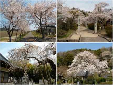 《桜開花状況》四倉地区の桜 [平成29年4月16日(日)更新]