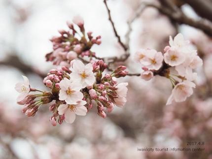 松ヶ岡公園のソメイヨシノ [平成29年4月8日(土)更新]22