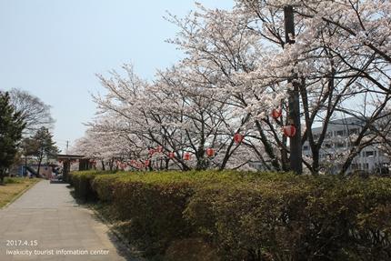 上湯長谷公園のソメイヨシノ [平成29年4月15日(土)開催]2