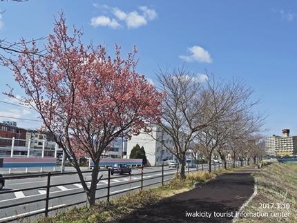 新川沿いのチョウベエザクラ [平成29年3月17日(金)更新]3