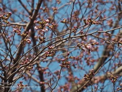 三島八幡神社のシダレザクラ [平成29年4月5日(水)更新]3