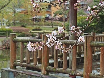 松ヶ岡公園のソメイヨシノ [平成29年4月8日(土)更新]3