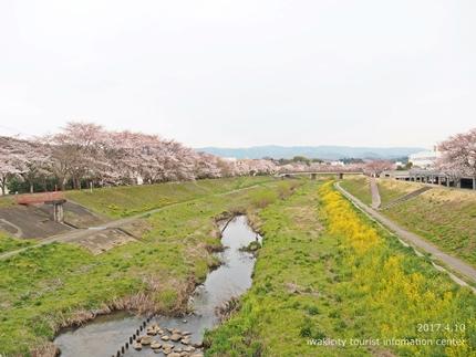 新川沿い・平中央公園のソメイヨシノ [平成29年4月10日(月)更新]3