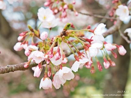 三崎公園のソメイヨシノ [平成29年4月12日(水)更新]3