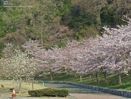 21世紀の森公園の桜 [平成29年4月16日(日)開催]3