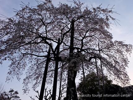 《桜開花状況》久之浜地区の桜 [平成29年4月18日(火)更新]14