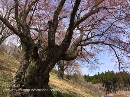 新田の大山桜 [平成29年4月27日(木)更新]2