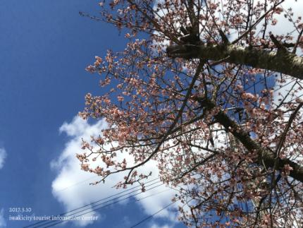 国宝白水阿弥陀堂のヒガンザクラ [平成29年3月10日(金)更新]3