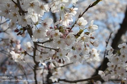 《いわき市桜開花情報》スパリゾートハワイアンズのソメイヨシノ [平成29年4月15日(土)開催]3