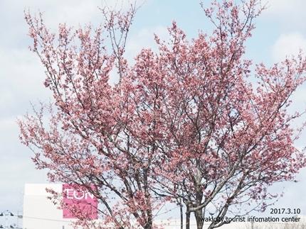 新川沿いのチョウベエザクラ [平成29年3月17日(金)更新]4