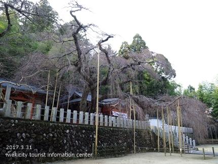 小川諏訪神社のシダレザクラ [平成29年3月31日(金)更新]