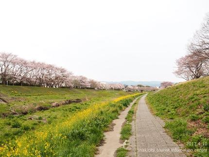 新川沿い・平中央公園のソメイヨシノ [平成29年4月10日(月)更新]4