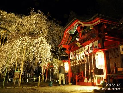 小川諏訪神社のシダレザクラ ライトアップ![平成29年4月12日(水)更新]4