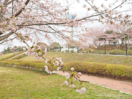 三崎公園のソメイヨシノ [平成29年4月12日(水)更新]4