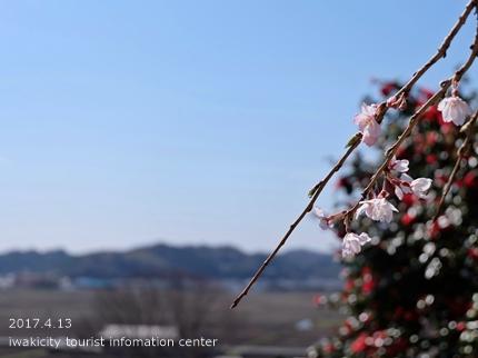 住善寺のシダレザクラ[平成29年4月13日(木)更新]4