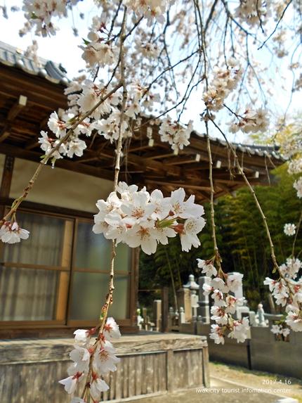 《桜開花状況》四倉地区の桜 [平成29年4月16日(日)更新]17