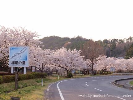 《桜開花状況》久之浜地区の桜 [平成29年4月18日(火)更新]11