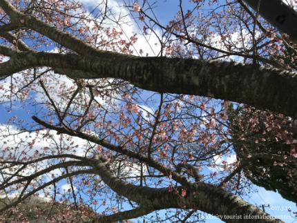 国宝白水阿弥陀堂のヒガンザクラ [平成29年3月10日(金)更新]4