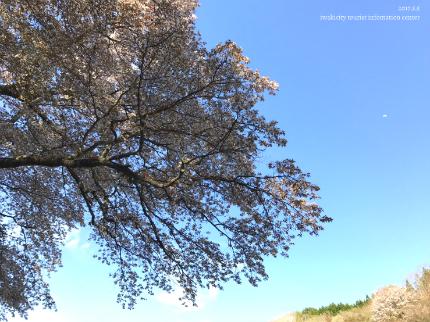 新田の大山桜4