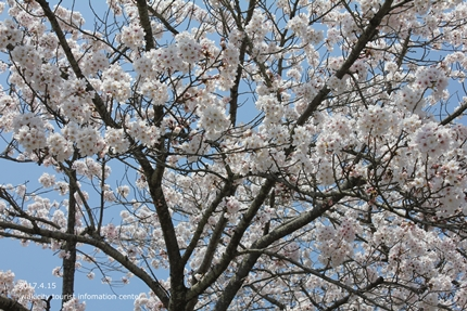 《いわき市桜開花情報》長谷寺のソメイヨシノ [平成29年4月15日(土)開催]4