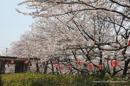 上湯長谷公園のソメイヨシノ [平成29年4月15日(土)開催]4