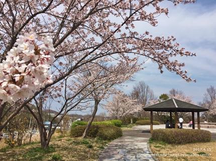 県立いわき公園の桜 [平成29年4月15日(土)開催]4