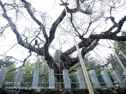 小川諏訪神社のシダレザクラ [平成29年3月31日(金)更新]5