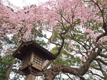 三島八幡神社のシダレザクラ [平成29年4月10日(月)更新]5