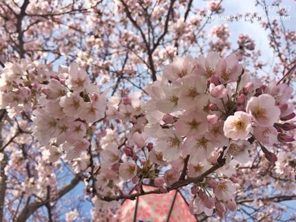 《いわき市桜開花情報》鹿島千本桜 [平成29年4月12日(水)更新]5