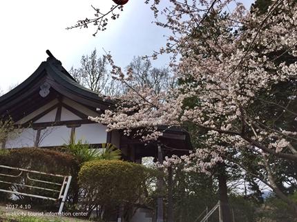 御幸山公園・観音山公園のソメイヨシノ [平成29年4月12日(水)更新]5