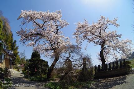 《桜開花状況》四倉地区の桜 [平成29年4月16日(日)更新]5