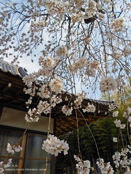 《桜開花状況》四倉地区の桜 [平成29年4月16日(日)更新]18