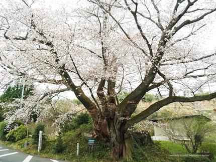 田人の石割桜が満開となりました! [平成29年4月22日(土)更新]2