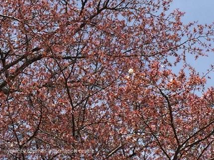 新田の大山桜 [平成29年4月27日(木)更新]4