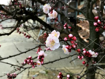 梅林寺のウメ [平成29年3月6日(月)更新]5