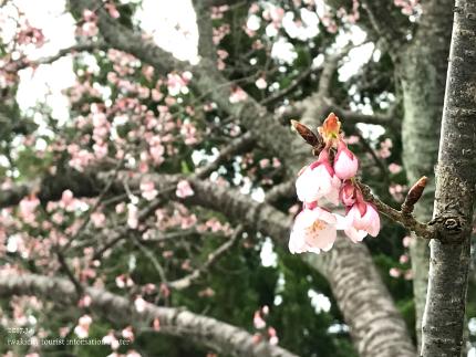 国宝白水阿弥陀堂のヒガンザクラ [平成29年3月6日(月)更新]tags[福島県]