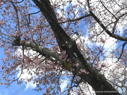 国宝白水阿弥陀堂のヒガンザクラ [平成29年3月10日(金)更新]5