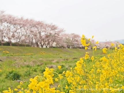新川沿い・平中央公園のソメイヨシノ [平成29年4月10日(月)更新]5