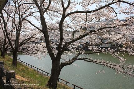 上湯長谷公園のソメイヨシノ [平成29年4月15日(土)開催]5
