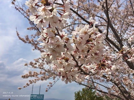 県立いわき公園の桜 [平成29年4月15日(土)開催]5