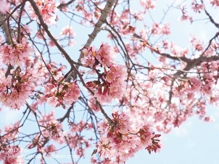 新川沿いのチョウベエザクラ [平成29年3月17日(金)更新]6